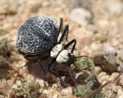 file cysteodemus armatus inflated beetle mojave desert 2016 04