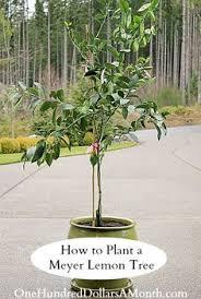 how to grow a meyer lemon tree in oklahoma meyer lemon tree