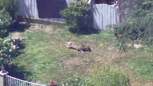 mountain lion tranquilized in granada hills home u0027s yard after