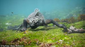 godzilla u0027 marine iguana size human hunts food