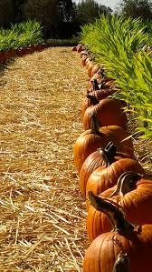 napa pumpkin patch napa ca