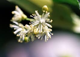 linden flower linden blossom hydrolat hydrosol ecocert e naturalne pl