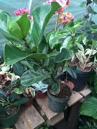 fiddle leaf ornamental fig tree ficus lyrata gift growing in