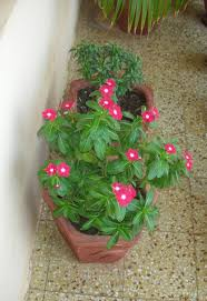 free all year round garden flowers about cbdbfabfbbdde vines for