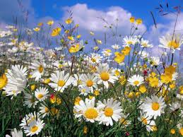 skunkboy blog daisies