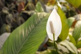 peace lily here u0027s all that you wanted to know about peace lily plants