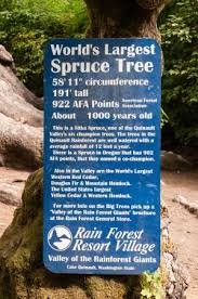 world s spruce picture of quinault big spruce tree