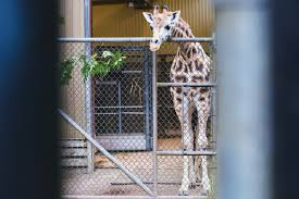 lexus woodland park photos seattle u0027s baby giraffe finally has a name meet lulu komo