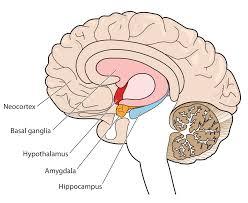 The Anatomy Of The Human Brain How Ptsd Affects Brain U201ccircuitry U201d Human Performance Resource Center