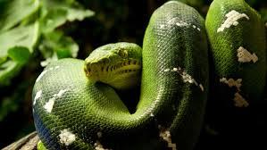 a green snake wallpapers animal green snake close up hd wallpaper wallpapers13 com