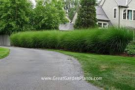 ornamental grass hedge grasses gardens and landscaping