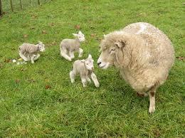file romney sheep ewe with triplet lambs in new zealand jpg