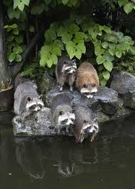 Raccoons In Backyard 170 Best Raccoons Images On Pinterest Nature Wild Animals And