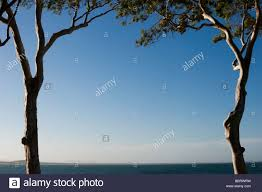 two eucalyptus trees framing the ocean and a clear blue sky stock