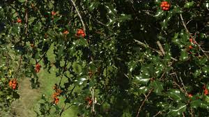 plants native to ireland ilex aquifolium l plants of the world online kew science