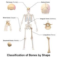 Anatomy Of Human Body Bones Long Bones Of Human Body Long Bones Of Human Body Anatomy Chart