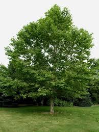 best 25 specimen trees ideas on front yard tree ideas