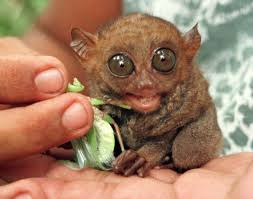 Ugliest Philippine Tarsiers Photos Top 20 Ugliest Animals Of All Time