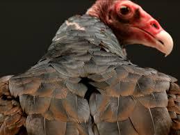 Seeking Vulture Turkey Vulture Cascadesraptorcenter Org