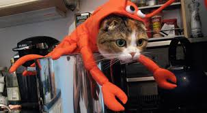 lobster halloween costumes 10 cats who their halloween costumes