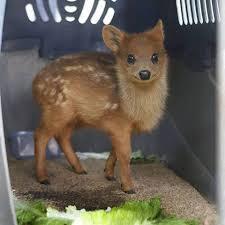 Deer Meme - the world s smallest deer the pudú imgur