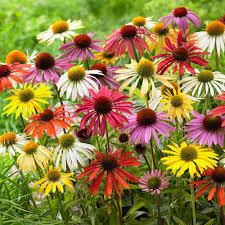 echinacea flower zyverden echinacea cone flower mixed roots 10 set 83526