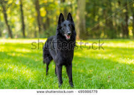 belgian sheepdog laekenois belgian shepherd groenendael stock images royalty free images