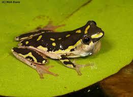 frogs of durban a photographic guide u2013 kwazulu natal amphibian