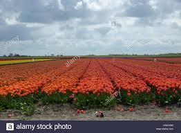 blooming tulip fields in a dutch landscape in texel the