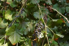 84 best california natives images vitis californica wikipedia
