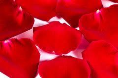 Silk Rose Petals Red Silk Rose Petals Stock Images Download 654 Photos