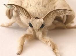 best 25 pictures of moths ideas on pinterest picture of a