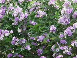 flowers today yesterday today and tomorrow brunfelsia pauciflora brunfelsia