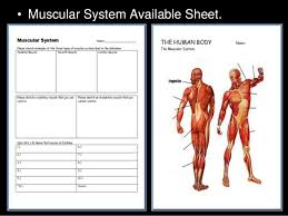 muscular system lesson powerpoint muscles human body unit