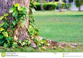 golden pothos or devil s ivy climbing on tree in the park tropi