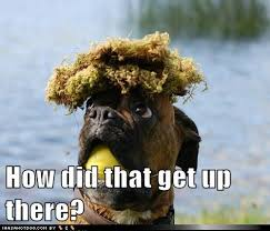 boxer dog funny 23 best funny boxer dogs images on pinterest animals boxer