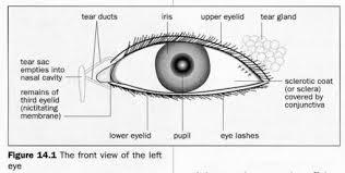 caleblookeye external structure of the eye