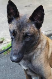 belgian malinois dog scientists find belgian malinois dogs can sniff out cancer