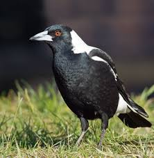 australian magpie wikipedia