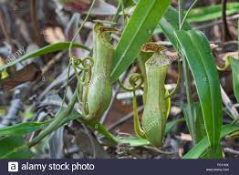 plants native to madagascar pitcher plant nepenthes sp a carnivorous plant native to