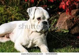 boxer dog white white german boxer dog stock photo 528728185 shutterstock