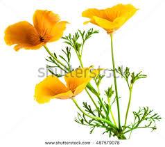 California Poppy Flower Eschscholzia Californica California Poppy Golden Stock