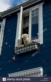 a white poodle dog looks out from an upstairs house window
