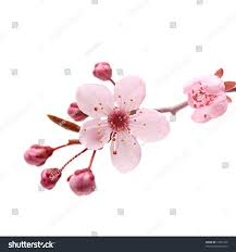 pink cherry blossom sakura on white stock photo 71831662