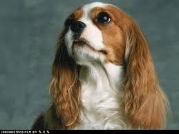 Puppy Dog Eyes Meme - i has a hotdog cavalier king charles spaniel funny dog