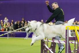 american eskimo dog winnipeg gallery the cutest canines in the westminster kennel club dog