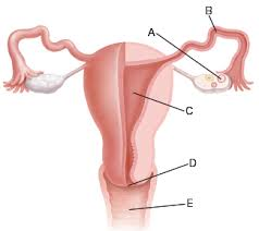 Anatomy Of Reproductive System Female Female Reproductive Anatomy Articles Mount Nittany Health System