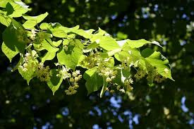 linden flower linden tree abundant edible leaves and flowers eat the planet