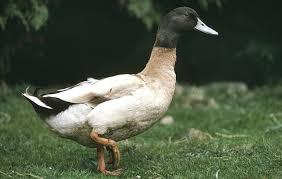 best duck breeds to keep in the garden the field