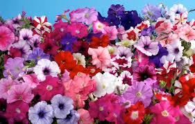 petunia flowers petunia is small flower comes in several shapes and colors